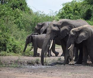 Mike Collins elephant