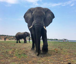 Jordan Forbes' elephant in Chobe
