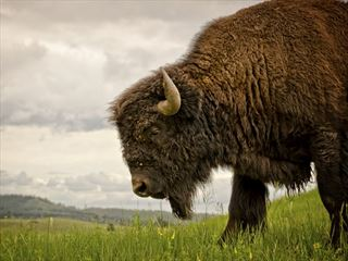 South Dakota bison