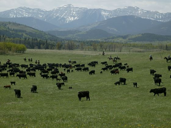 Cattle drive south of Calgary