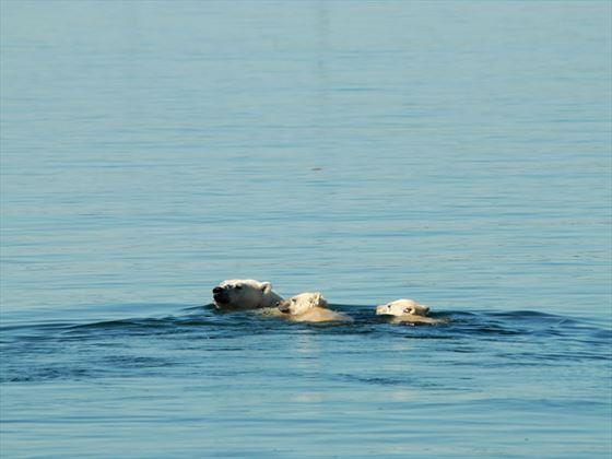 Polar bears in the water, summertime, Churchill