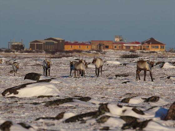 Caribou; Credit A Skillen; Churchill Wild