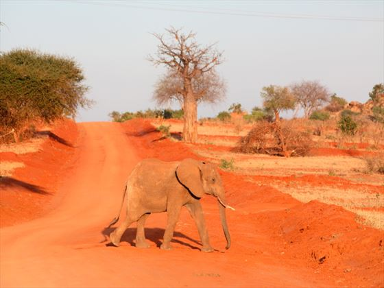 Elephant walking on a red road at Tsavo National Park