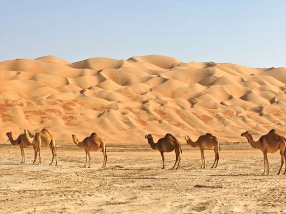 Camels standing in front of the sand dunes