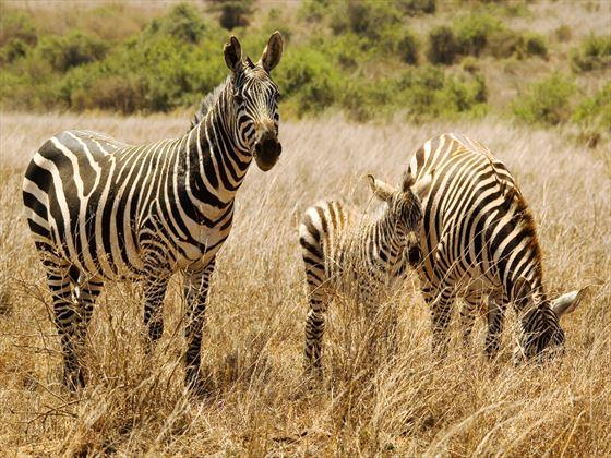Zebras in Nairobi