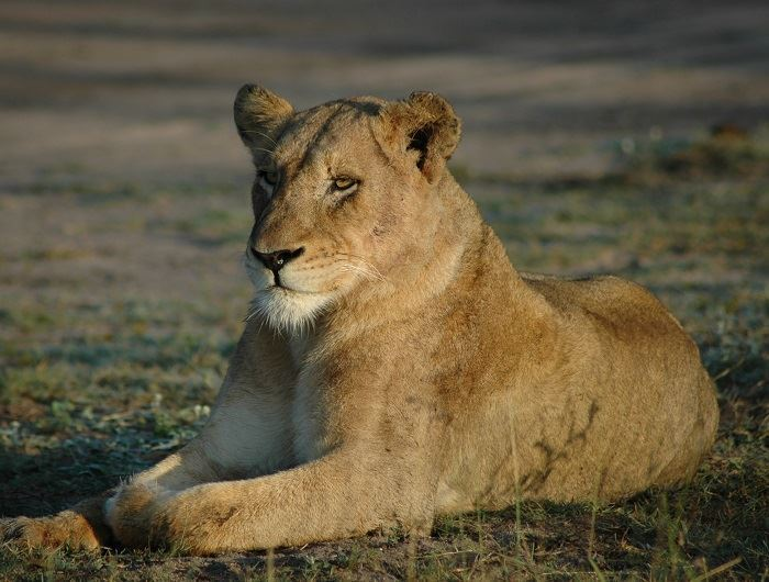 Mike Collins lion in South Africa