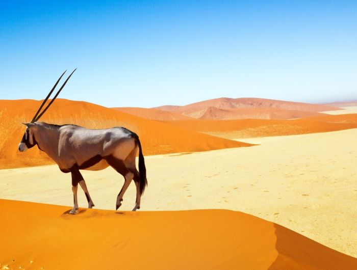 Oryx standing on sand dunes - getty
