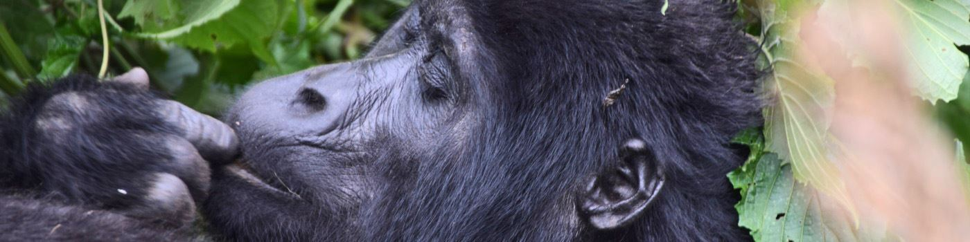 Mike Collins gorilla in Bwindi NP