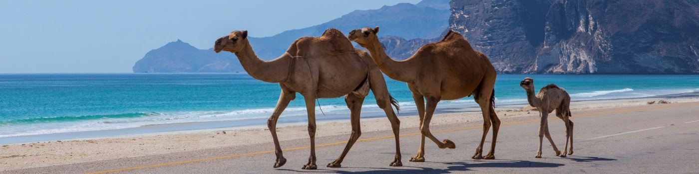 Camels on the beach in Dhofar