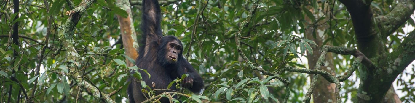 Getty chimpanzee in Nyungwe Forest