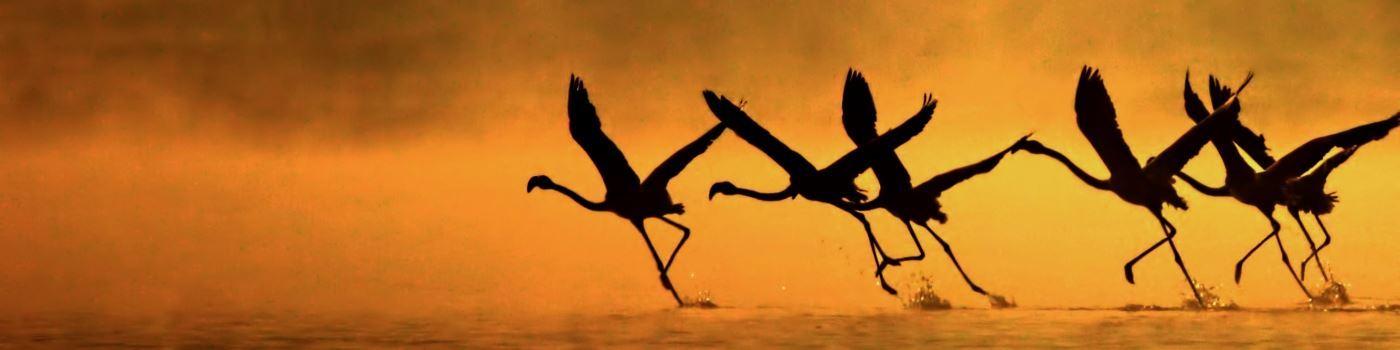 Getty flamingo in flight at Lake Nakuru