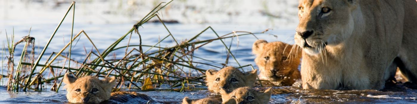 Lion cubs in Okavango Delta
