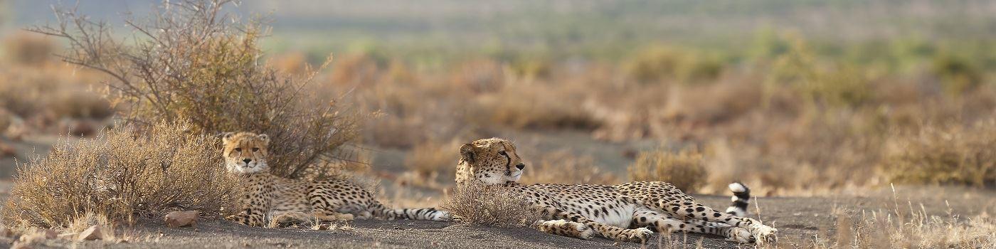 Samara Private Game Reserve cheetahs