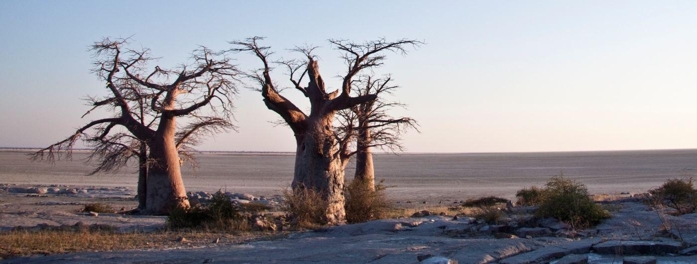Baobab trees in Makgadikgadi Pans