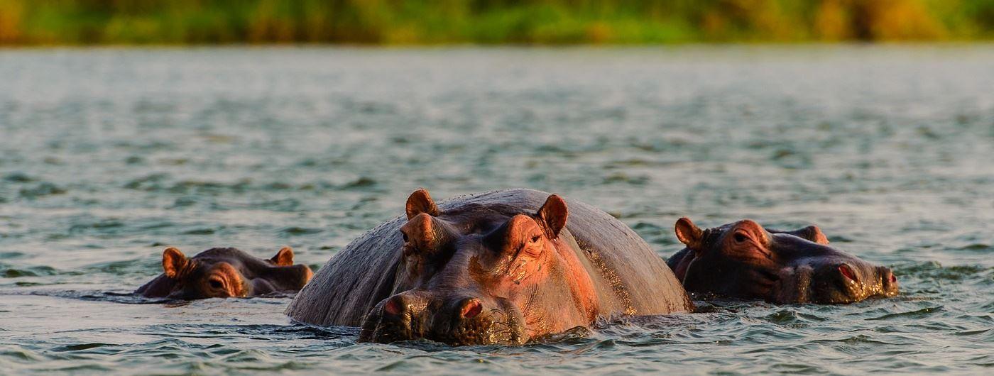 Getty - hippo in Lower Zambezi NP