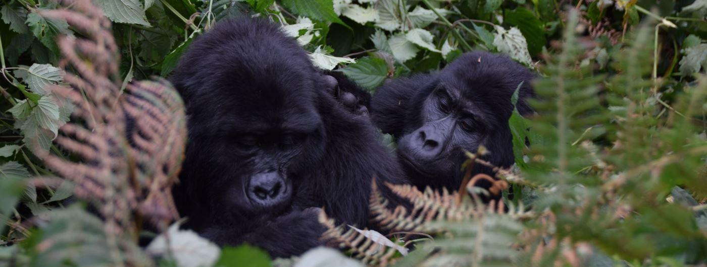 Gorilla in Bwindi National Park
