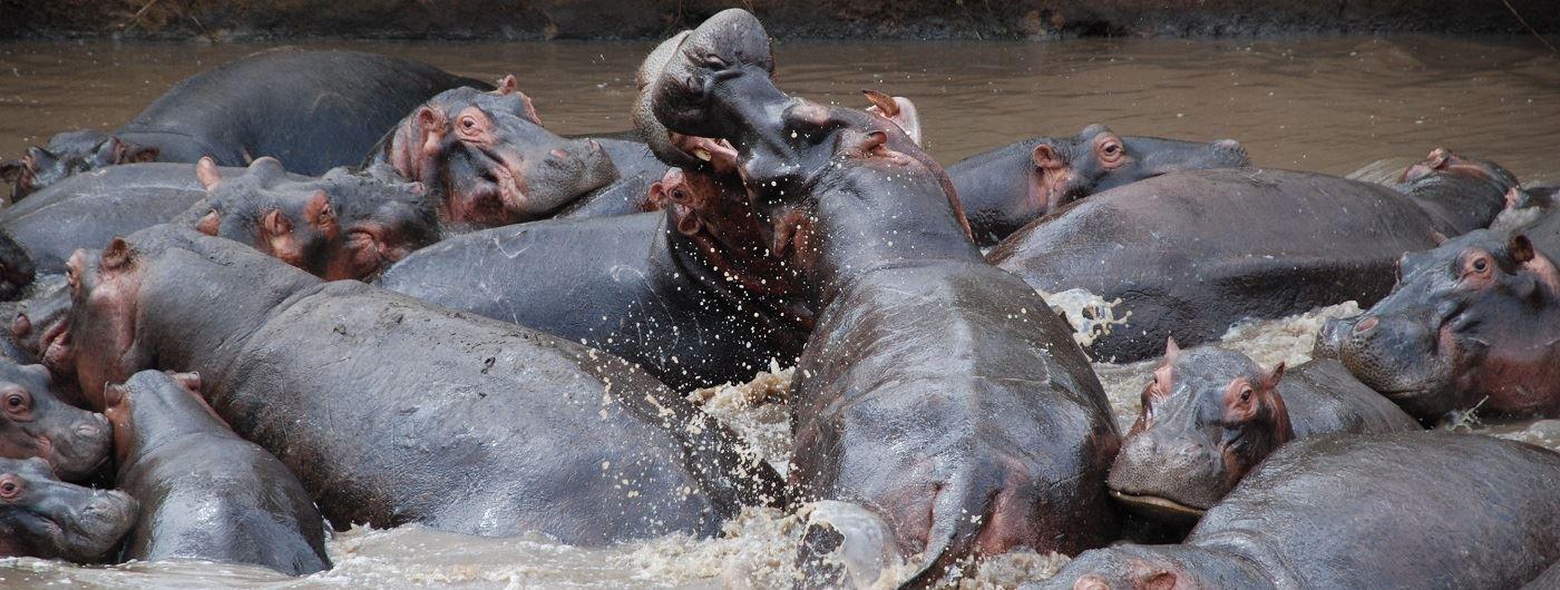 Hippo in Tanzania