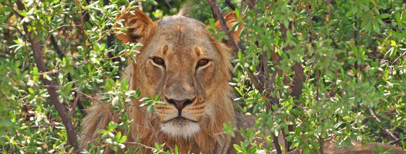 Jenn O'Neil South African lion