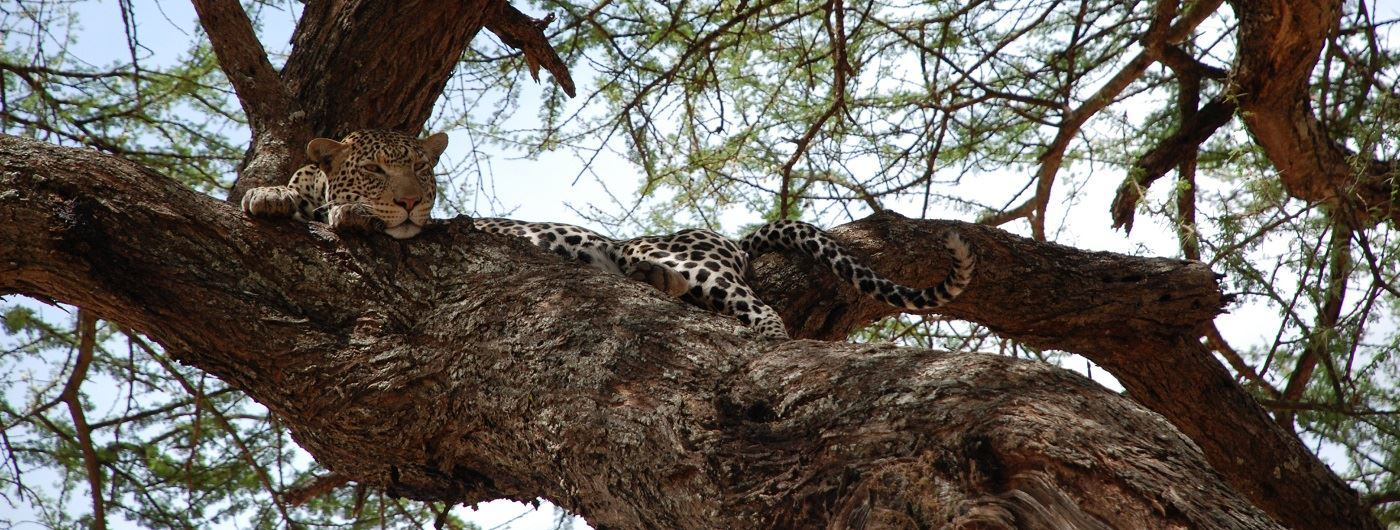 Leopard relaxing in Tarangire NP