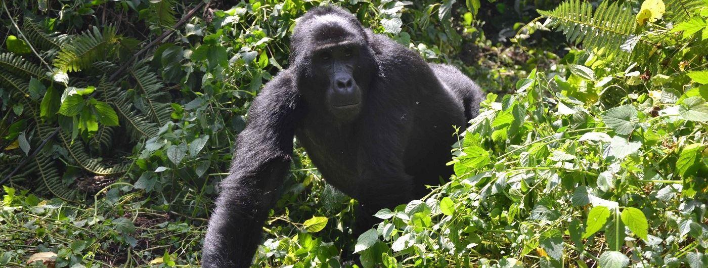Mahogany Springs gorilla trekking