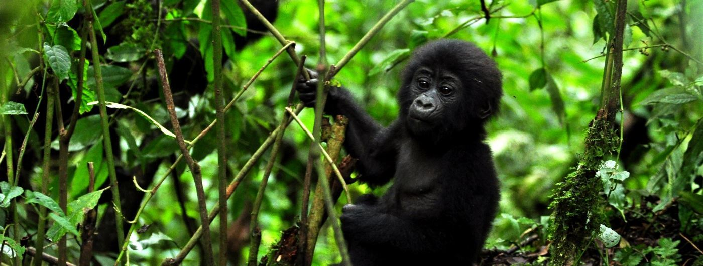 Gorilla near the lodge