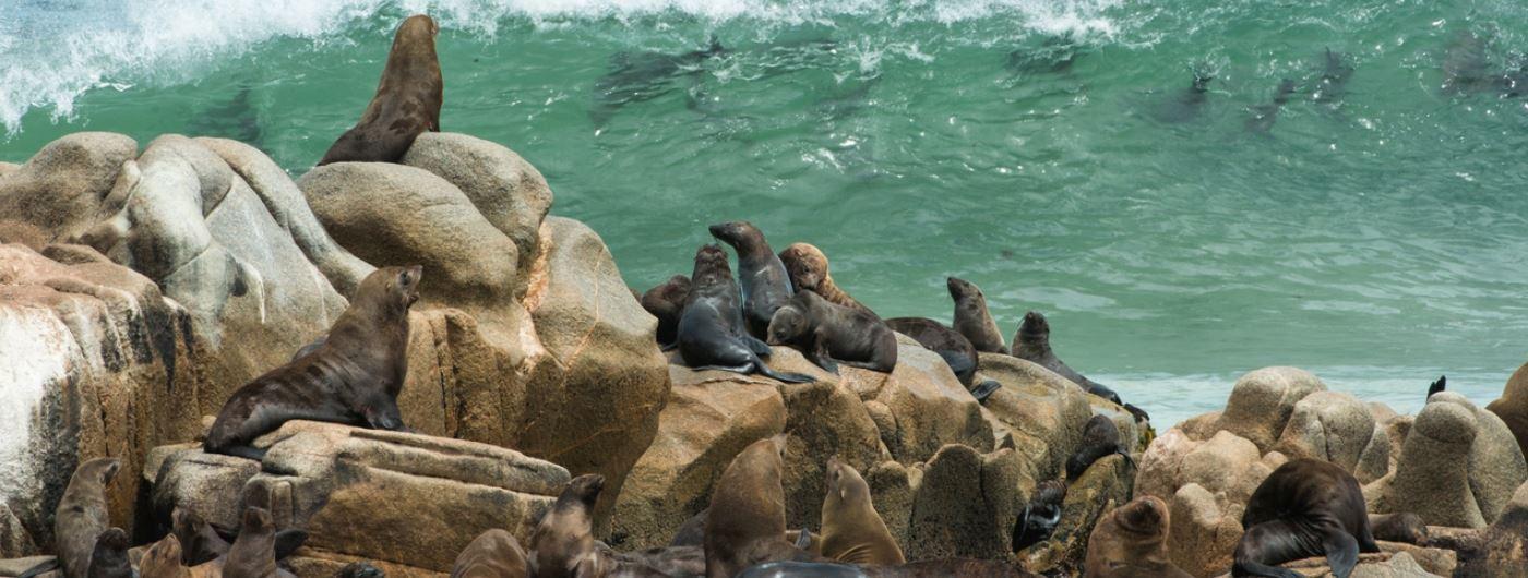 Skeleton Coast sea lion