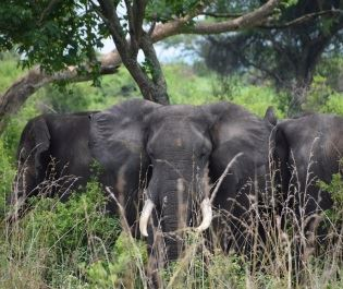 Elephant herd in Uganda
