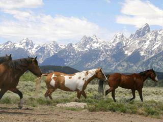 Wild horses, Jackson Hole