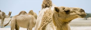 Camels in the Ras al Khaimah desert