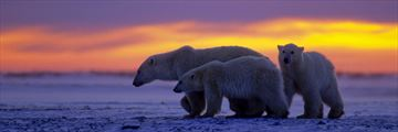 Polar Bear Family at Sunset, Manitoba