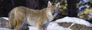 Coyote in Rocky Mountain National Park, Colorado