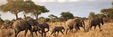 Elephant herd roaming together in Tarangire National Park