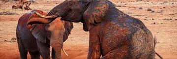 Elephants in Ngutuni