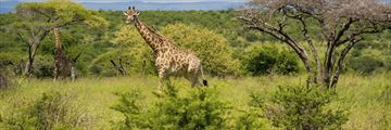 Giraffe roaming through Hluhlwe