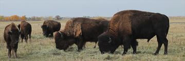 Grazing buffalo herd in Winnipeg, Manitoba