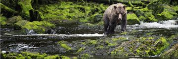 Grizzly bear on Juneau