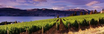 Kelowna Vineyards, British Columbia