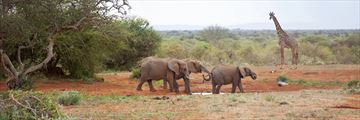 Elephants and giraffe grazing by a waterhole in the Masai Mara