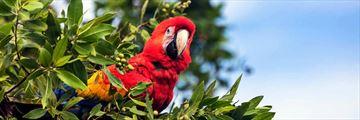 Scarlet macaws at Lapa Rios Lodge