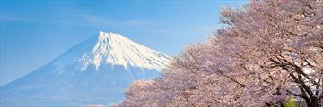 Mount Fuji Cherry Blossoms in the spring