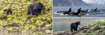 Bears and whales in Tofino and Vancouver Island
