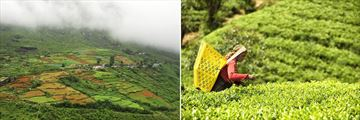 Nuwara Eliya & Tea Picker