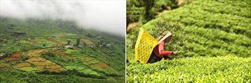 Nuwara Eliya & Tea Picker