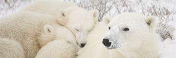 Polar bear family in Churchill, Manitoba