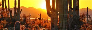 Sagauro cacti in Scottsdale