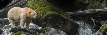 Spirit bear in Great Bear Rainforest, Cariboo Chilcotin Coast