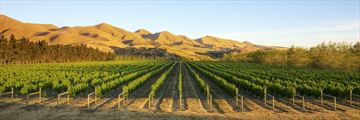 Vineyards in Canterbury, South Island
