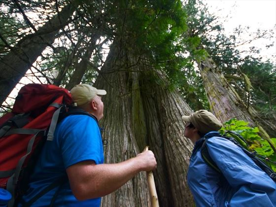 A couple of hikers looking up at a large cedar tree in the Ancient Forest near Prince George