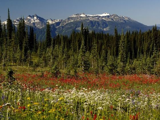 Field of wildflowers with views of mountains in Mount Revelstoke National Park