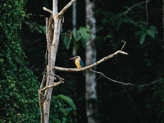 Borneo Kinbatangan Rainforest Kingfisher